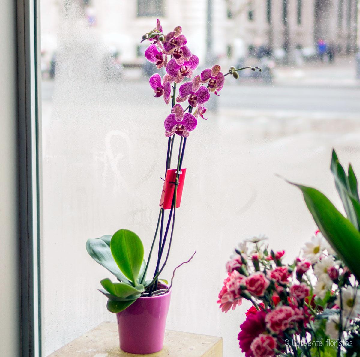Imagen preciosa Orquídea 2 varas